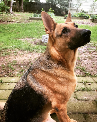 A German Shepherd Attentively Sitting in a Back Yard